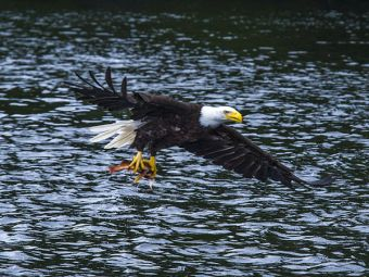 Bald Eagle fishing at Rivers Inlet - a successful catch.